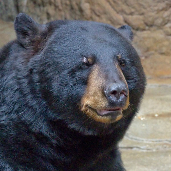 a report on the north american black bear Thus began vince's long and celebrated life with the black bears in a tiny corner of the north woods near orr the american bear report problems to wa.