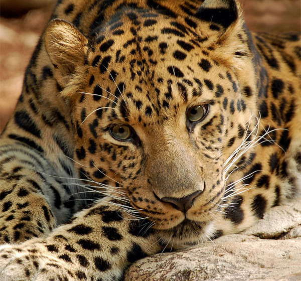 Leopards diet - photo#6