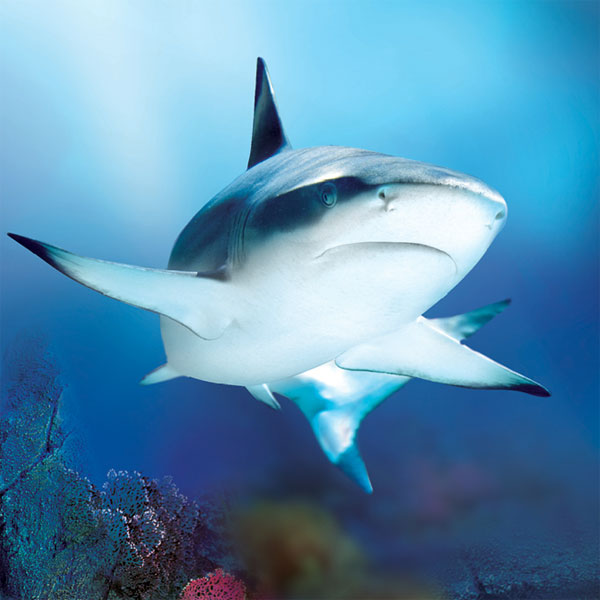 black_tip_reef_shark