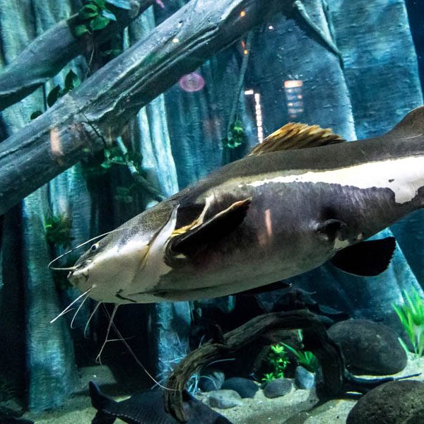 Red tail catfish discover animals Freshwater fish with red fins