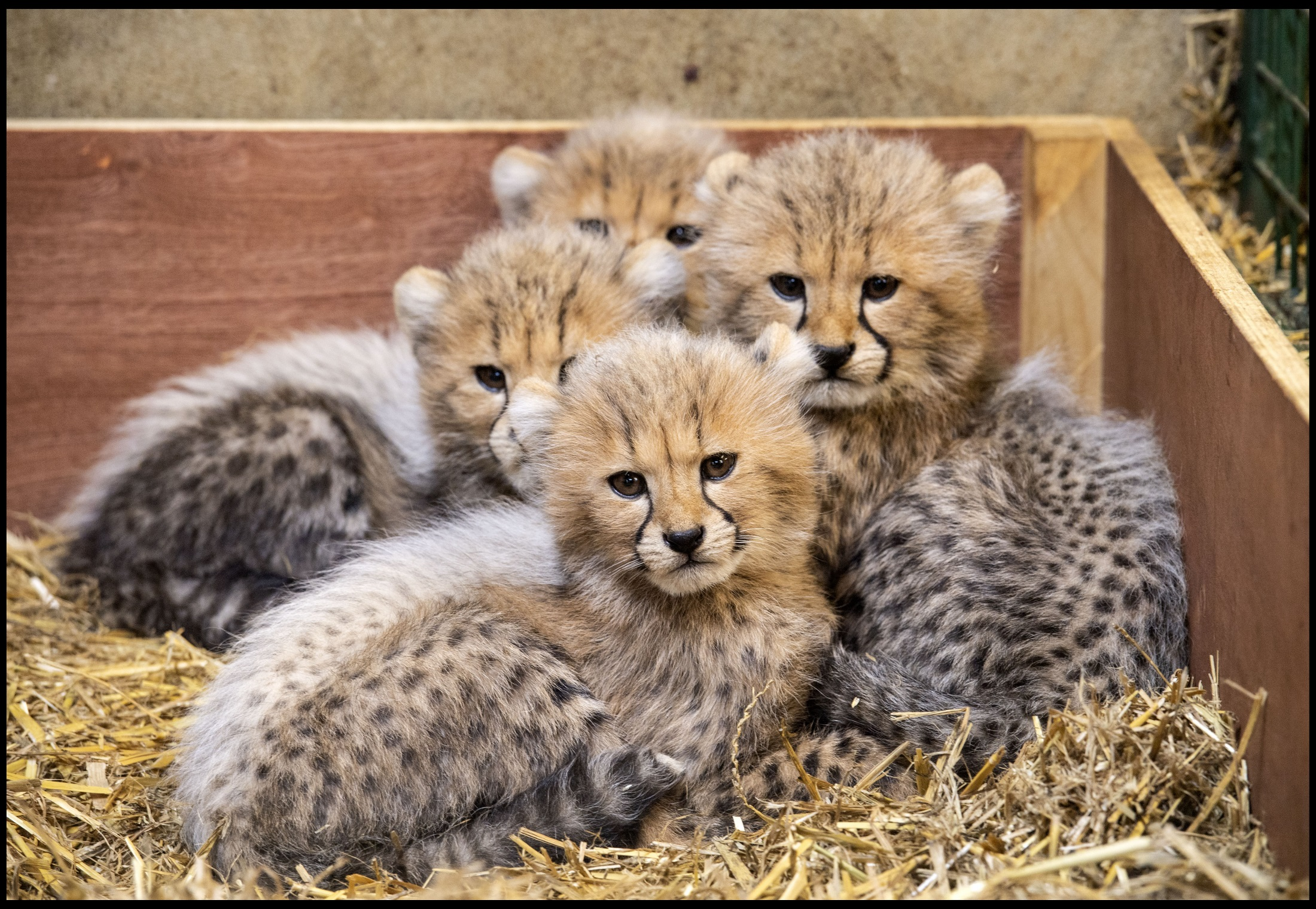 Show me pictures of cheetah cubs
