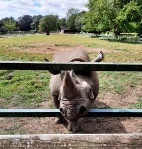 Eastern black rhino - Port Lympne (Discover Animals)