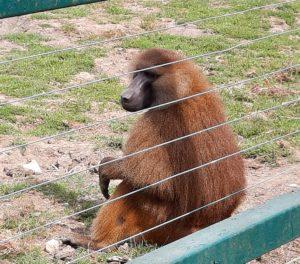Guinea baboon - Port Lympne Kent (Discover Animals)