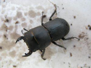 Lesser stag beetle (RHS - Andrew Halstead)