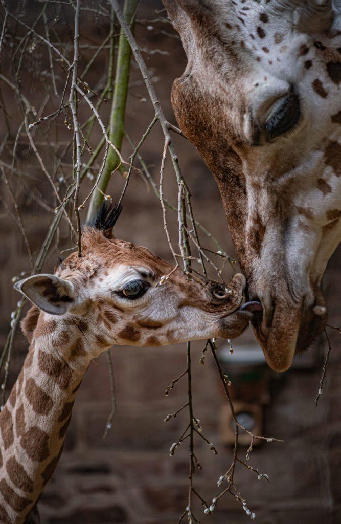 Rare baby giraffe born at Chester Zoo with mum Orla