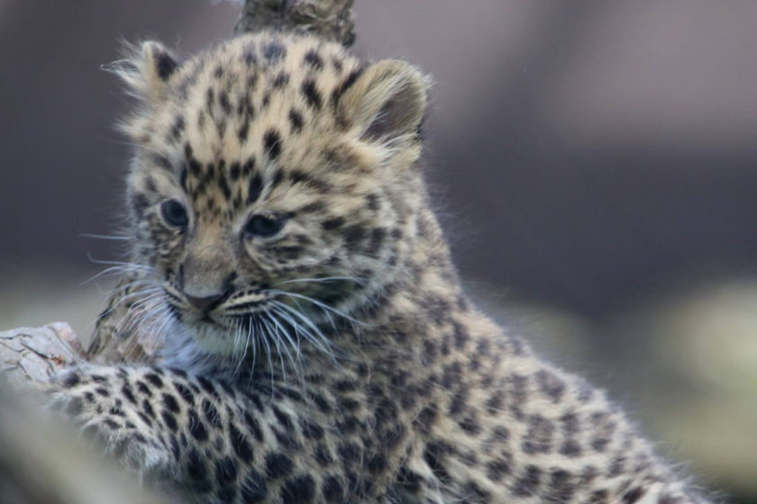 Amur leopard cubs at Twycross Zoo, 7 weeks old_credit Twycross Zoo (3)