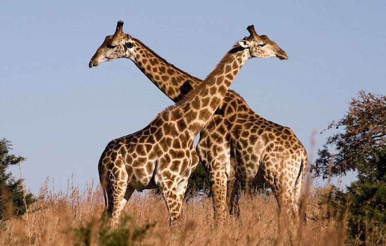 pair_of_giraffe