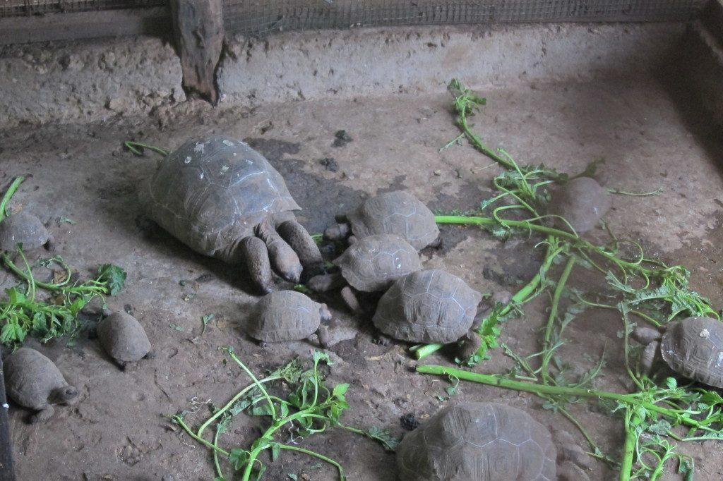Tortoises in Tanzania