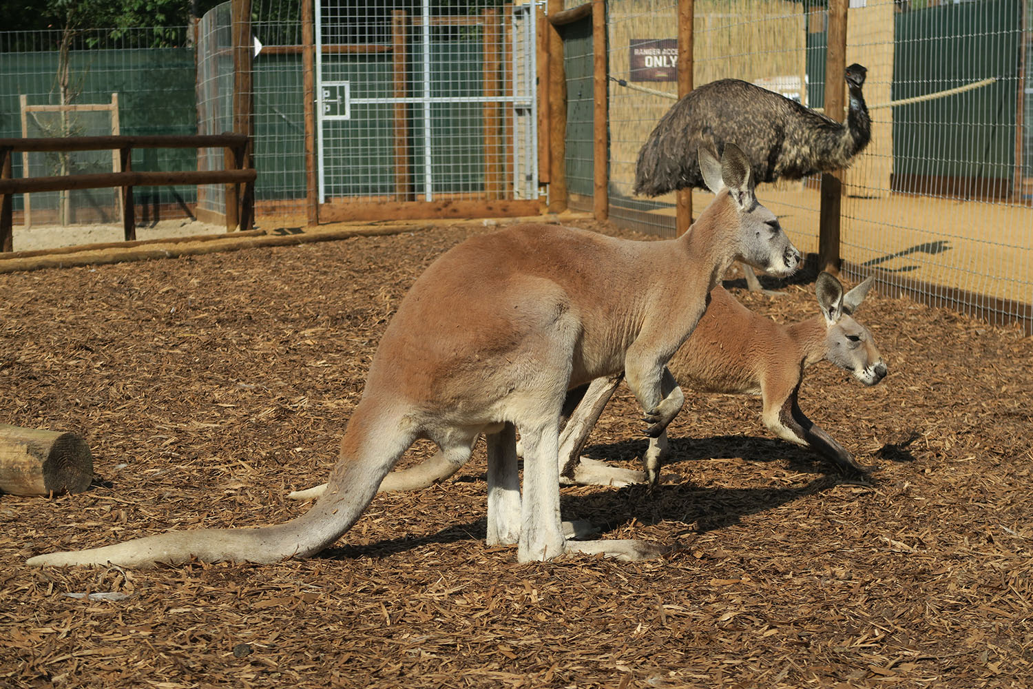 Red Kangaroos Arrive In Hertfordshire Discover Animals