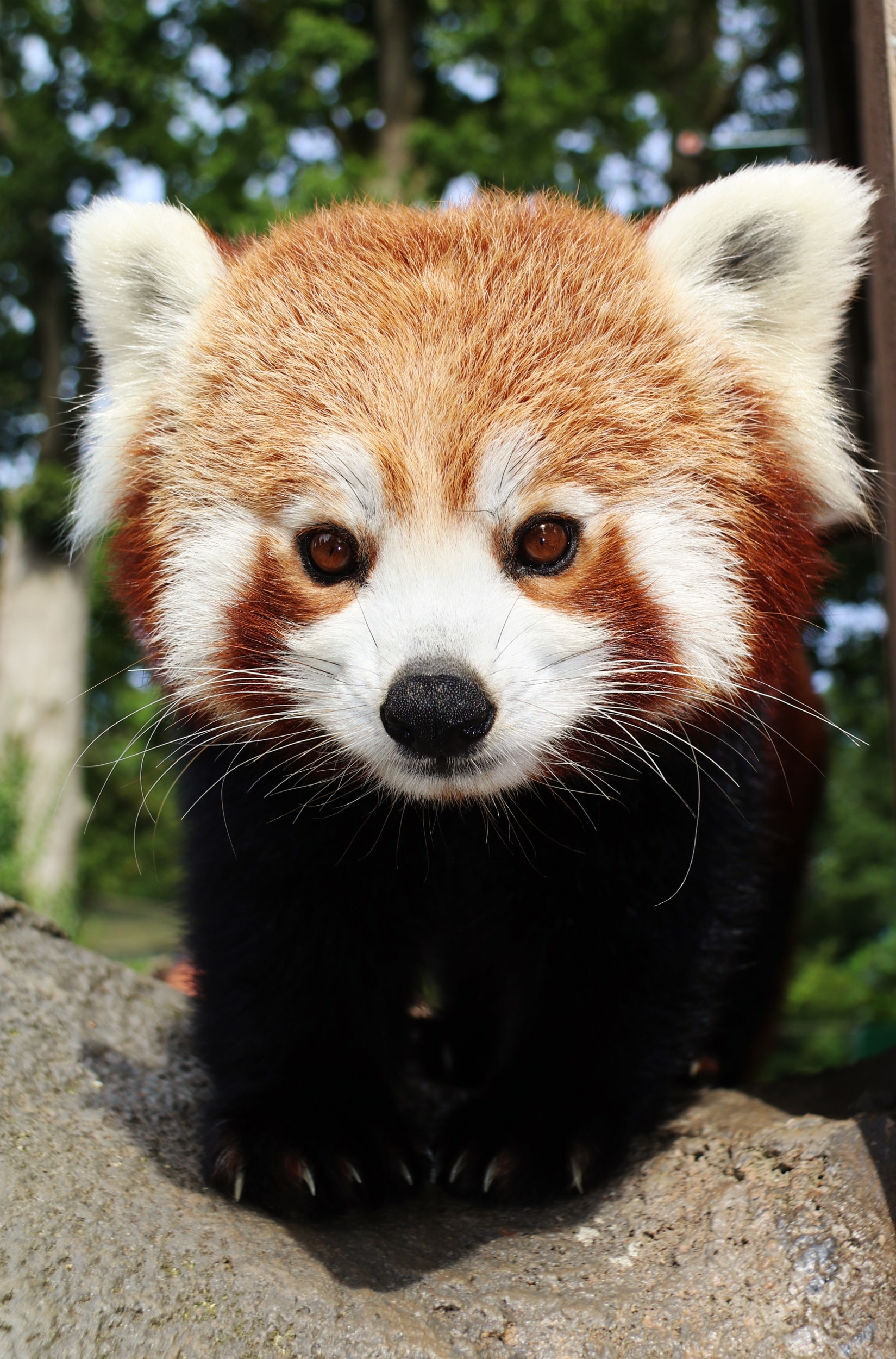 Image of: Ppt Endangered Red Panda Cub Welcomed At Longleat Discover Animals Endangered Red Panda Cub Welcomed At Longleat Discover Animals