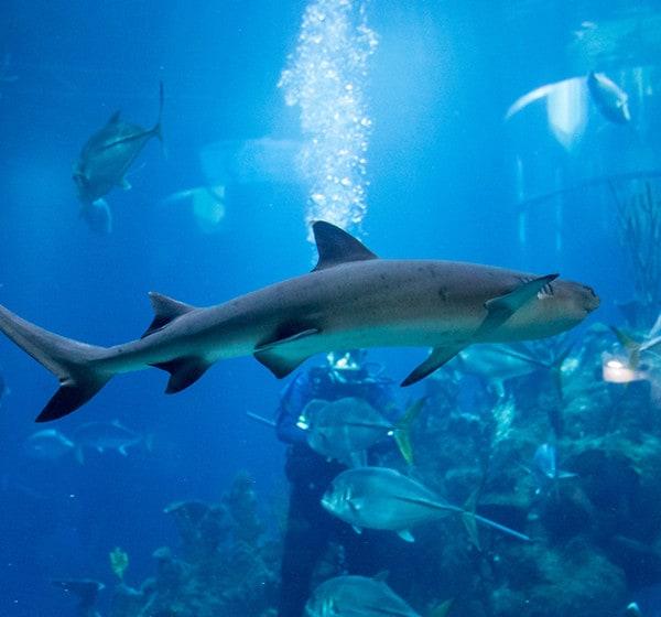 White tip reef shark web